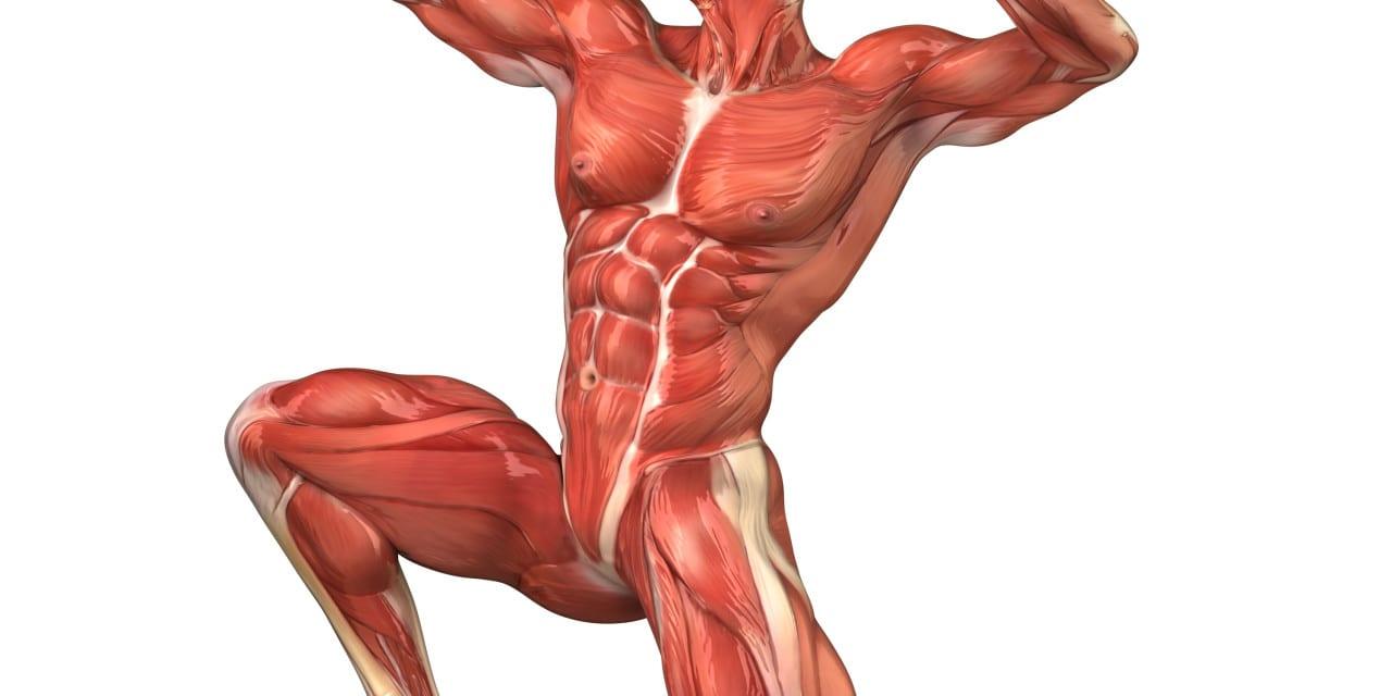 صورة الجهاز العضلي في جسم الانسان