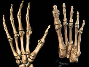 انواع العظام في جسم الانسان