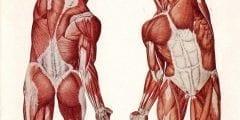 وظيفة الجهاز العضلى في جسم الانسان