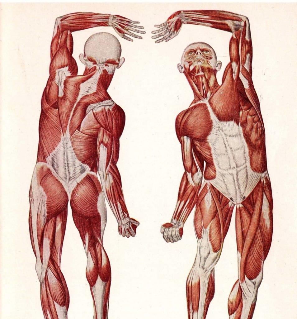 وظيفة الجهاز العضلى