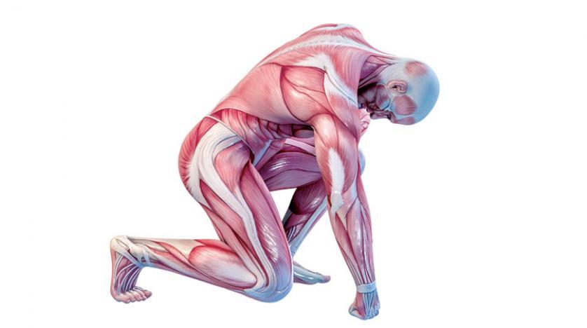 اقوى عضلة في جسم الانسان