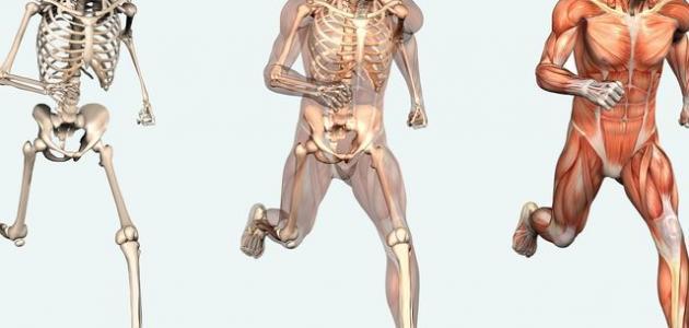 ما هي اقوى عضلة في جسم الانسان
