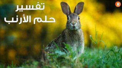 صورة الحلم بالارانب البيضاء | تفسير حلم ولادة الأرانب في المنام