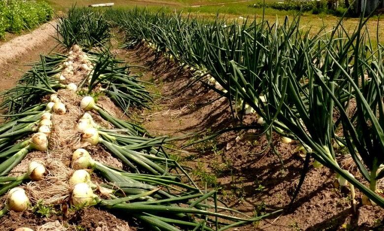 زراعة البصل من الالف إلى الياء