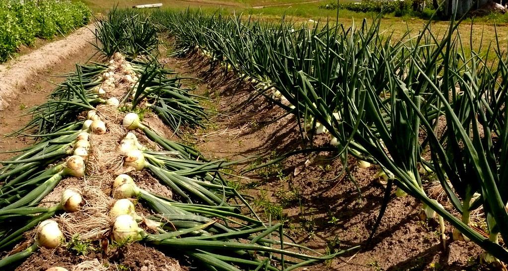 زراعة البصل من الالف إلى الياء | كيفية حصاد البصل